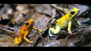 Golden Poison Frog Reserve