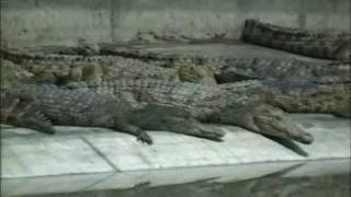 Visit to a Zimbabwe Crocodile Farm