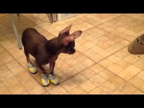 Собака учится ходить в обуви (Приколы за неделю Смешные видео 2014 Лучшие приколы за неделю)
