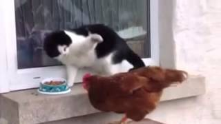 Cat And Hen Funny video