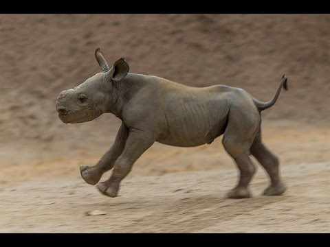 Critically Endangered Black Rhino Calf Hits the Ground Running