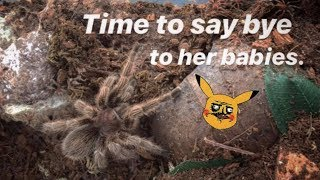 GOOD-BYE baby ROSE HAIR tarantulas ~ Mama will miss you !!!