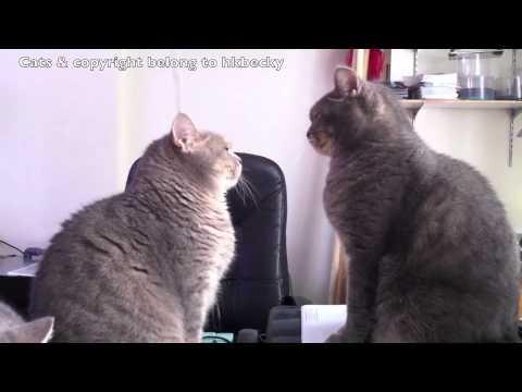 Cats Playing Patty Cake Gif