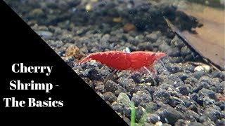 Cherry shrimp - The Basics