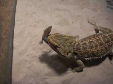 K Dragon Lizard bearded dragon ...