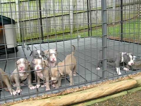Pitbull puppies Video