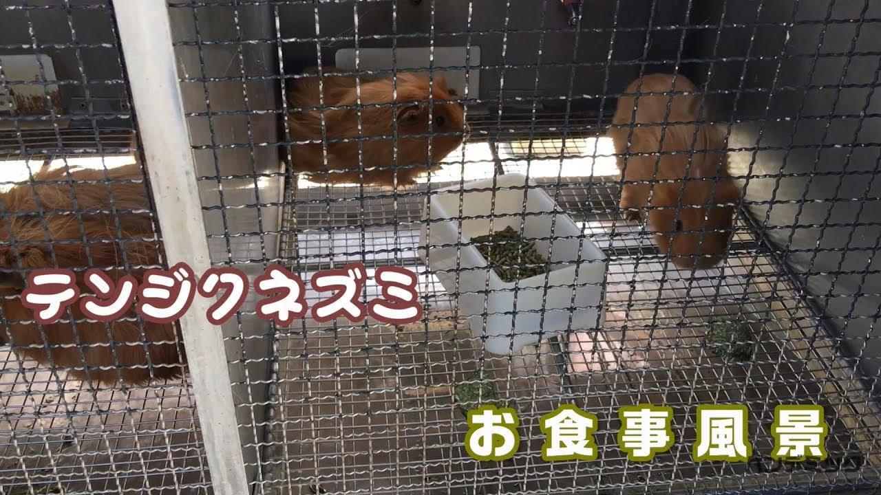 テンジクネズミの画像 p1_27