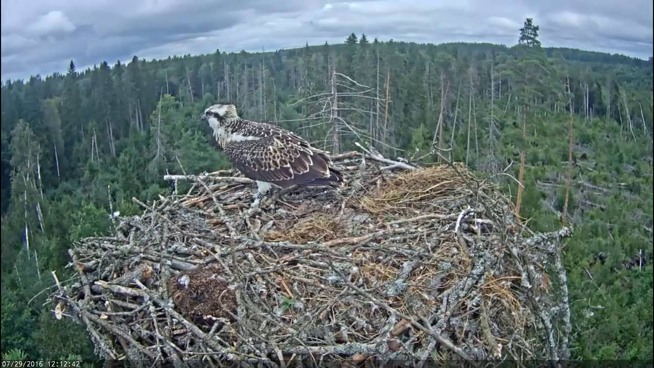 [Yikes! Osprey Takes First Flight From Nest But Almost Doesn't Stick The Landing] Video