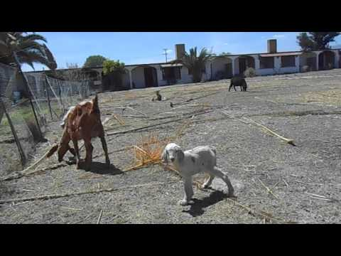 English Guy in Mexico - Another newborn baby goat on the Hacienda