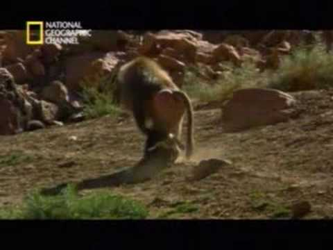 Primates Secuestradores de Perros
