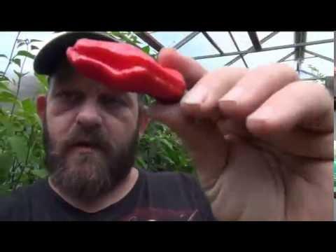 ⟹ Italian Pepperoncini Pepper. Capsicum annuum longum TASTE TEST AND POD REVIEW !!