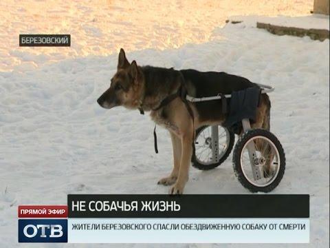 Жители Берёзовского спасли обездвиженную собаку от смерти