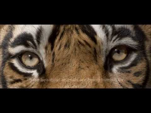 TIGERTIME Keeping Tigers Wild & Free