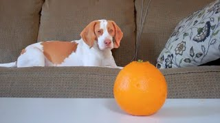 Dog vs. Orange pt II: Cute Dog Maymo
