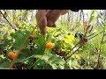 СБОР ЯГОД . МОРОШКА на самом большом болоте в Карелии.picking berries . CLOUDBERRY