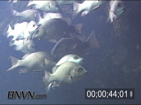 3/9/2006 Footage of schools of snappers at the King Spring, Crystal River Florida