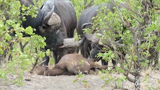 Mourning Buffalo Repeatedly Chases Off Lions