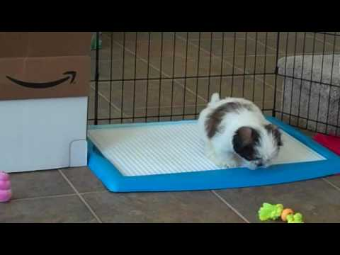 Wizdog potty training Shih Tzu puppy