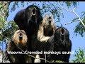 Wooww  Crowded monkeys sound  (Suara monyet Siamang ternyata berisik) Mp3