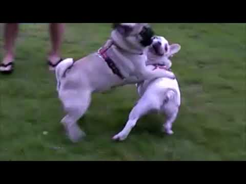 French bulldog, MIRCO #029 Mirco and a pug hit it off by hugging each other.