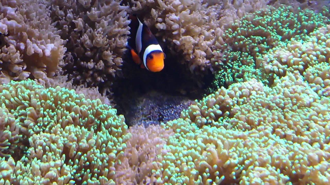 Clarkii clownfish