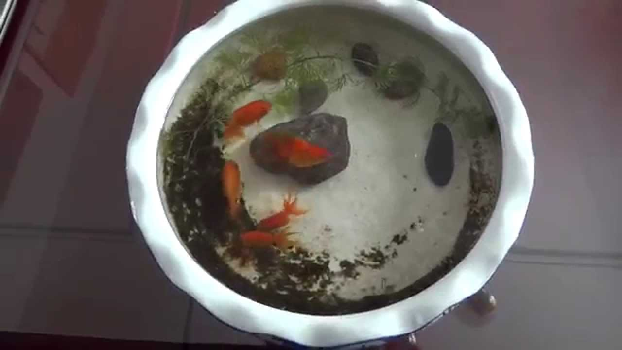 My indoor mini goldfish pond mah09585 13 10 2014 youtube for Small goldfish pond