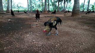 Sandai seval,2 video best fighting rooster..