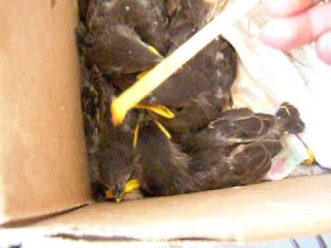 Hand Feeding Baby Starling Birds Youtube