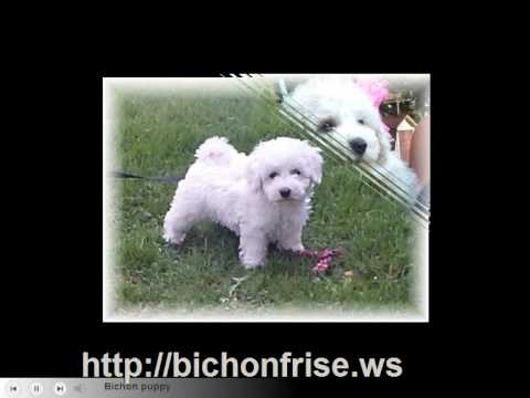 Bichon Frise puppies and Bichon Dogs