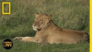 Safari Live - Day 276 | National Geographic