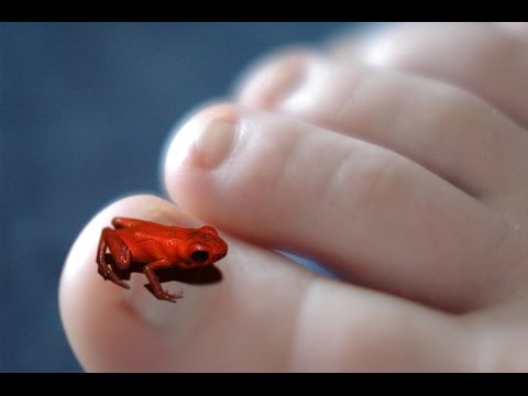 Newly discovered - Tiny Poison Dart Frog