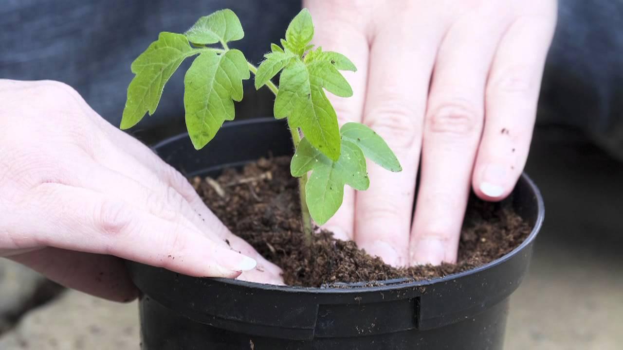 c mo cuidar una planta de sombra youtube On como plantar una planta