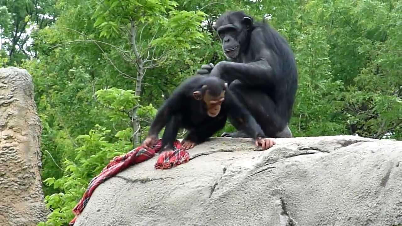 Cute Baby Chimpanzees Playing Cute Baby Chimp Playing
