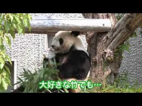 パンダの食事風景(王子動物園)