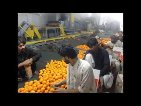 Kinnow & oranges 6 Feb 2011 Garden to Factory Sargodha Pakistan