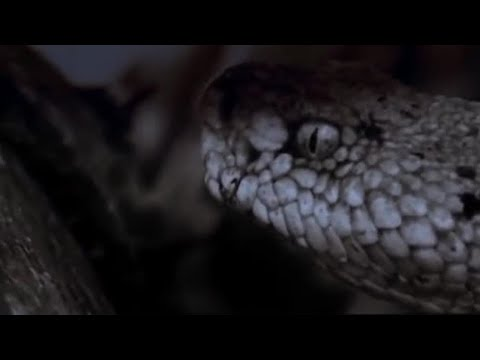 Attenborough - Midnight snack: Snake attacks Mouse - BBC wildlife