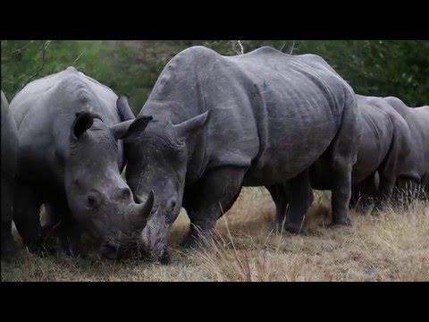 RHINO GOLD (Hoedspruit, South Africa)