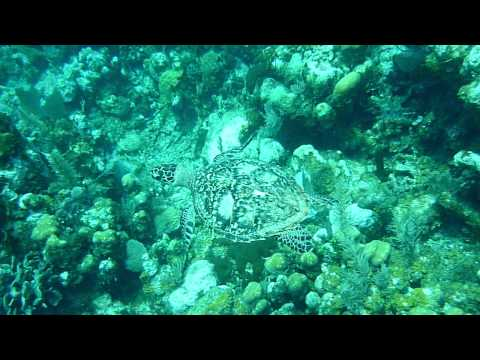 Scuba Diving in Honduras with Turtles