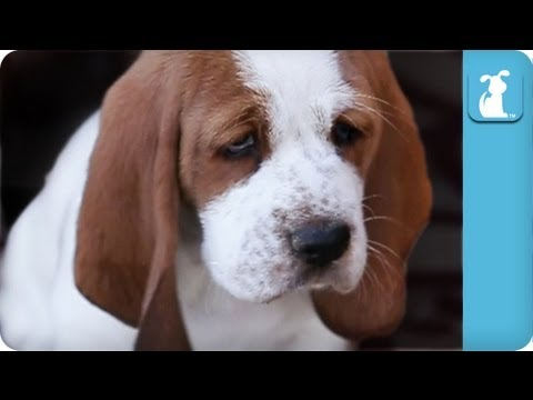 80 seconds of Adorable Wrinkled Basset Hound Puppies