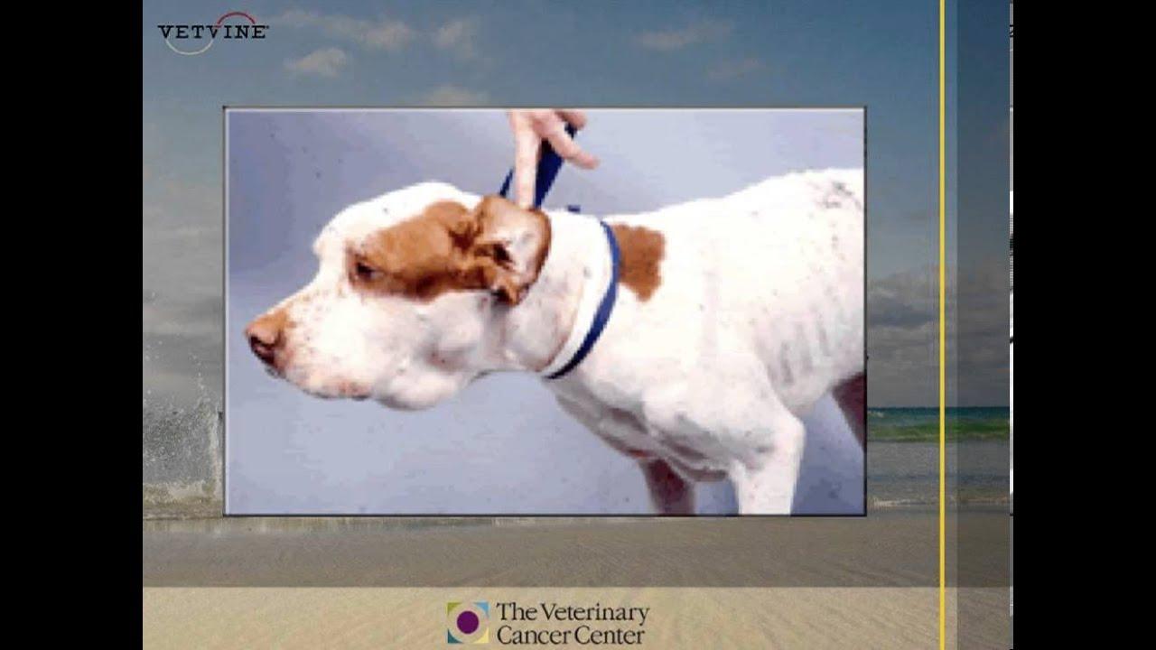 How Do Dogs Get Lymphoma