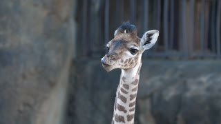 Giraffe Baby, Mara, Makes Debut