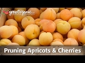 Pruning Cherry Trees and Pruning Apricot Trees - Summer