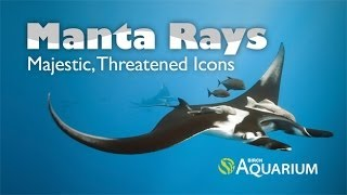 Manta Rays: Majestic and Threatened Icons