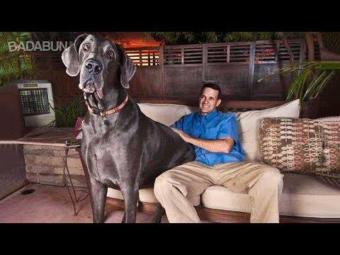 Los 8 Perros más grandes del mundo