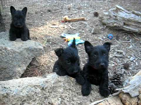 Scottish terrier puppies on 1st adventure. Video