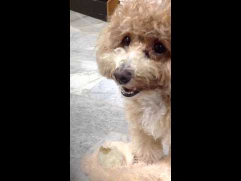 my playful toy poodle