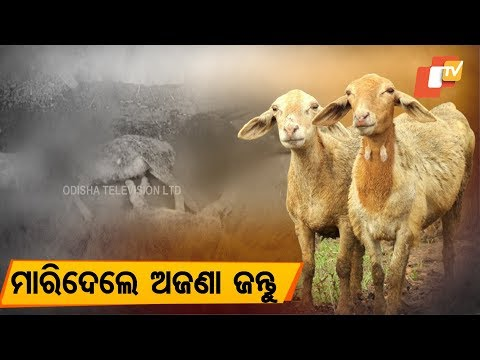 5 sheep killed in mysterious animal attack in Cuttack