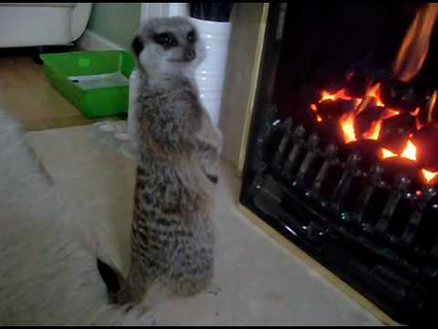 Meerkat getting a warm by the fire