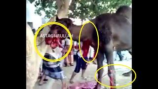 Camel  Qurbani || Eid ul azha || 2016 || 2017 || Bgart Kuta Qasai || Bakra Eid in Pakistan6