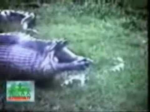 Giant snake eating hippo - photo#6